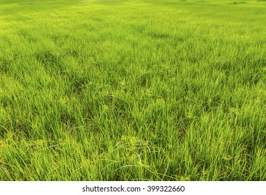 tall green grass field. Grasses In The Rice Field. Tall Green Grass Field D