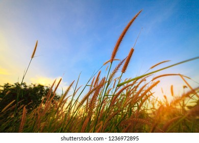 grasses swaying in the twilight. Sunset in summer.