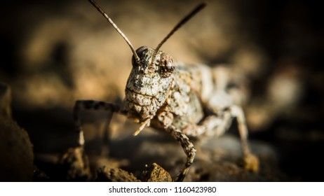 Grasshoper in close up