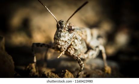 Grasshoper in close up