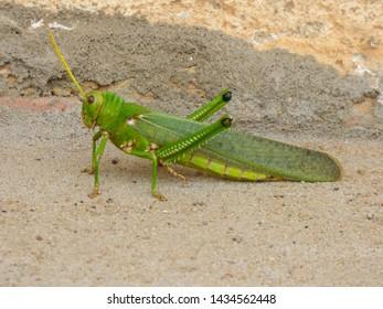 Grasshoper of the genus Tropidacris (family Romaleidae) - Oeiras, Brazil