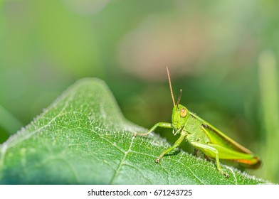 Grasshopper with amazing color and great detail