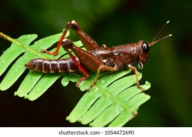 Grasshopper of borneo