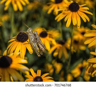 Grasshopper breeding on Black Eyed Susans