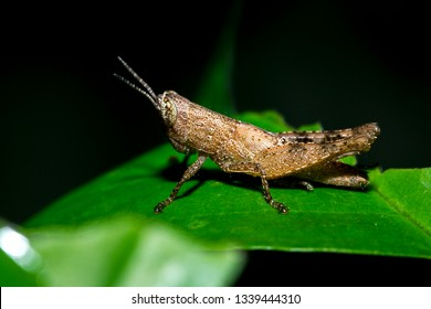Grasshopper with brown color on the leaves