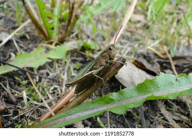 Grasshopper close up on green grass, insect with details