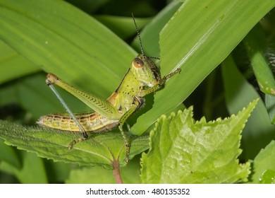 Grasshopper eating green leaf