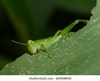 grasshopper is eating a leaf