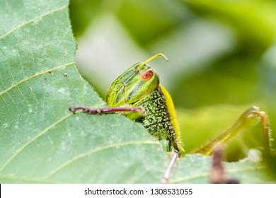 Grasshopper is eating a leaf - macro shot