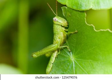 A grasshopper eating plant leaf