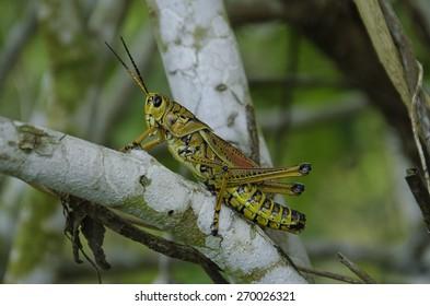 Grasshopper in Florida wetlands