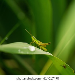 Grasshopper in grass on meadow in summer morning