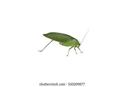 Acridoidea Images, Stock Photo...