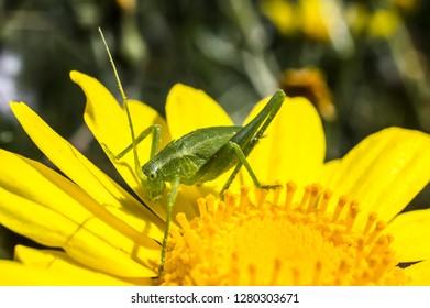 Grasshopper Green Common Grasshopper Phaneroptera Macro Photography Close-up