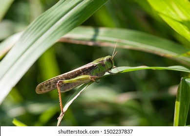 grasshopper hidden in the vegetation