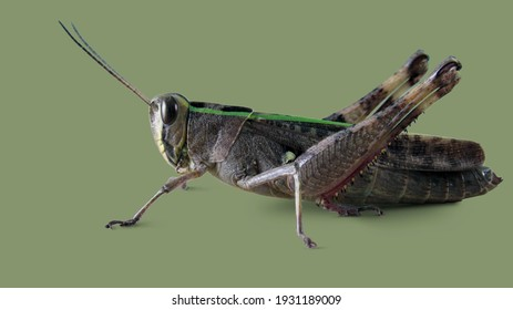 Grasshopper isolated on pale green background.