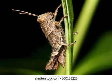 Grasshopper Side View Isolated Closeup Stock Photo (Edit Now