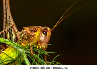 Grasshopper macro in green nature - Stock Image