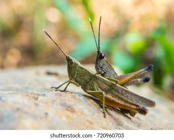 Grasshopper mating on stone.