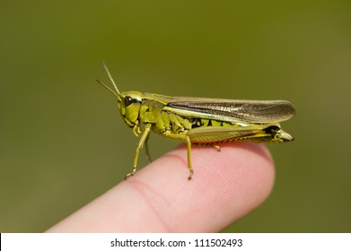 Grasshopper (Mecostethus grossus), male, Sweden