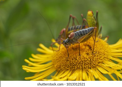 grasshopper nymph at flowers