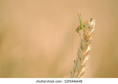 grasshopper on corn