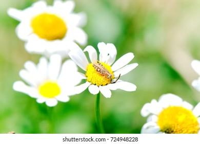 Grasshopper on a daisy flower