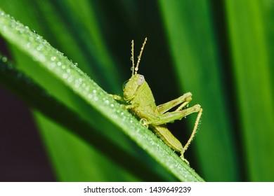 Grasshopper on dewy green leaf in tropical forest