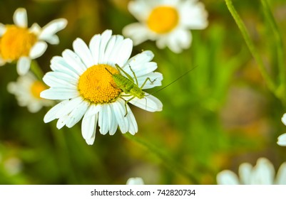 Grasshopper on the  flower Daisies, Bellis perennis close up