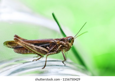 a grasshopper on a green grass background close. a grasshopper sits on a glass jar .