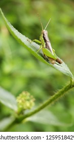 Grasshopper on the green leaf with blur background