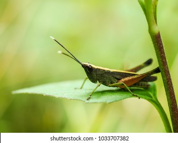 Grasshopper on green leaf and blurry background.