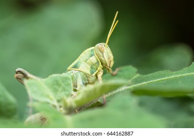 Grasshopper on green leaf in the nature.