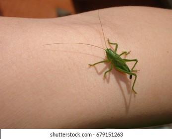Grasshopper on the hand