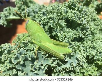Grasshopper on kale
