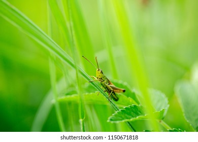 Grasshopper on the leaf of grass close up.