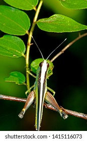 A grasshopper on leaf in nature