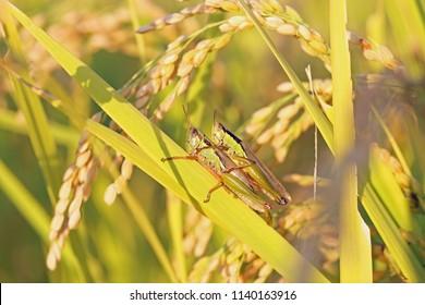 Grasshopper on rice plant.