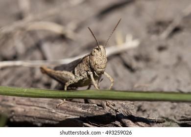 Grasshopper on a stem close up.