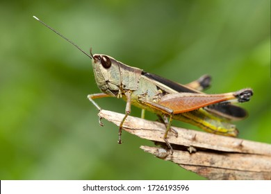 A grasshopper on tree branch in the forest.