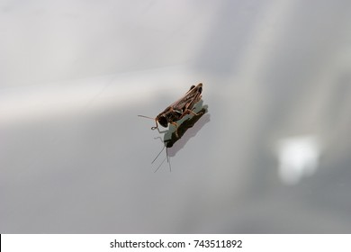 Grasshopper on windshield looking at reflection