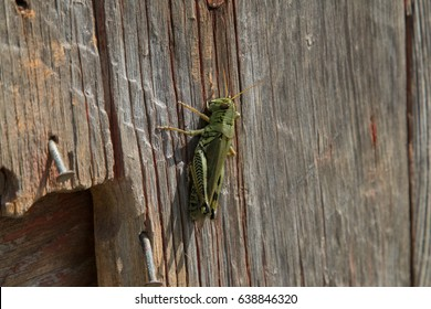 Grasshopper on worn wood with nails