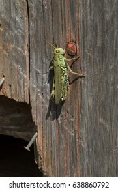 Grasshopper on worn wooden door with rusty nails