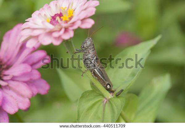 Grasshopper on a zinnia flower in the flower garden
