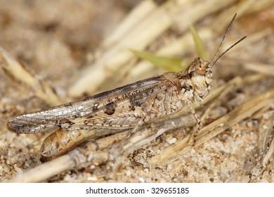 Grasshopper, Orthoptera, Caelifera