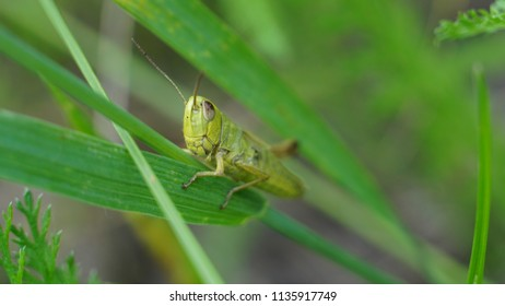 Grasshopper photo in the grass. Picture of grasshopper high quality.  Large green grasshopper. Grasshopper images at the nature.