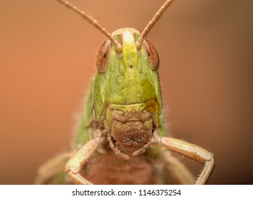 Grasshopper Portrait in Summer