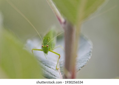 Grasshopper resting on an apple leaf, ina blurred background.