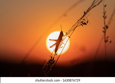 Grasshopper sits on the grass against the background of the evening sun. Silhouette of Grasshopper on orange sunset disk background.