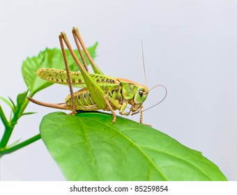 grasshopper sits on a large green leaf